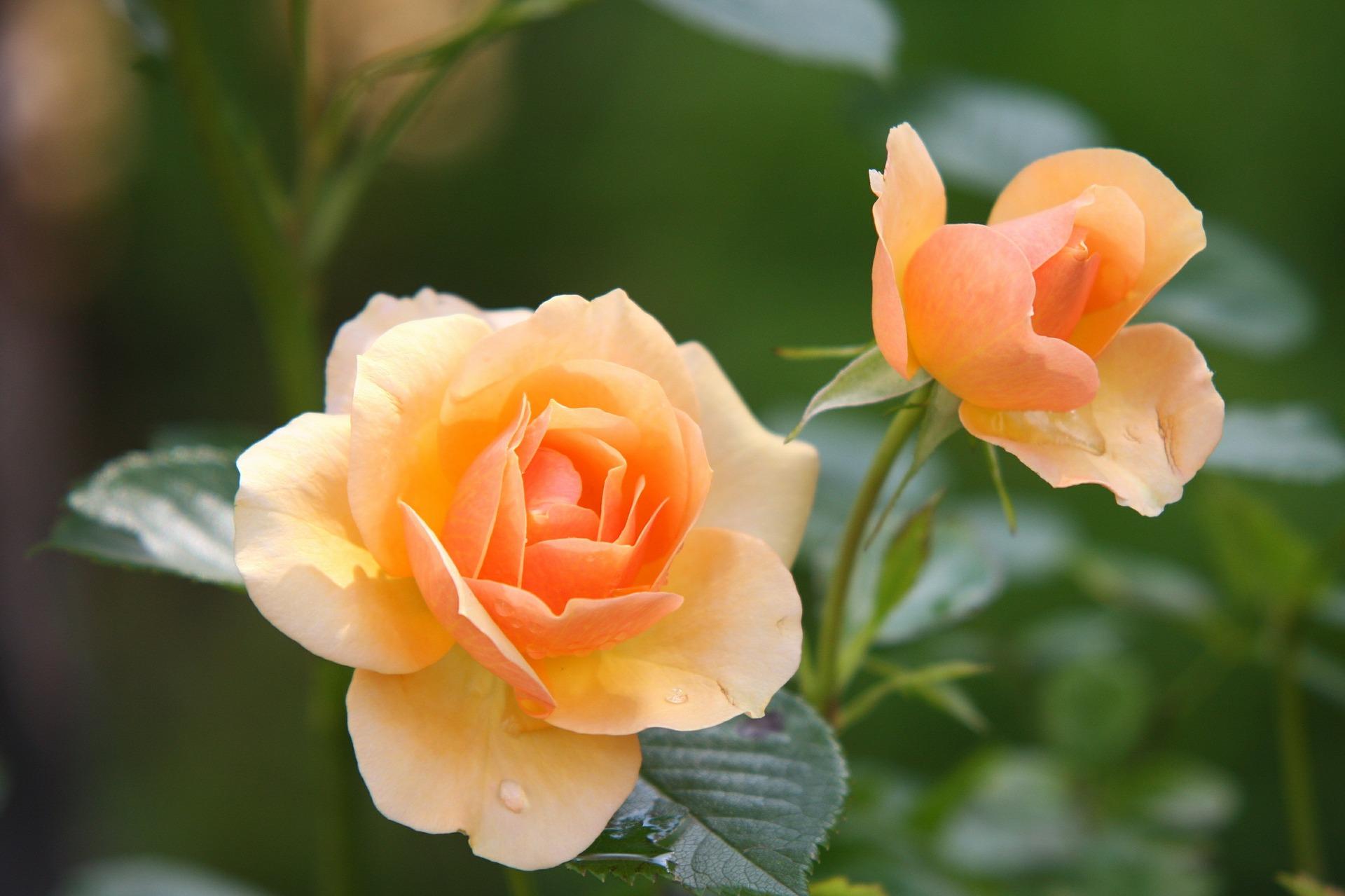 Festival vrtnic in roséja