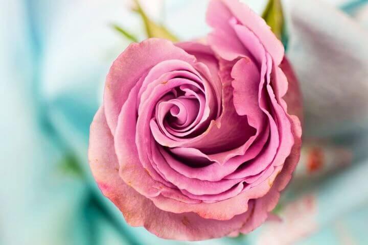 Portorož Days of the Rose (Rožni vrt rose garden)